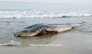 Hendak Melaut, Nelayan Temukan Hiu Tutul Berat 1,7 Ton Terdampar di Pantai Tan Sridano Batang Kapas
