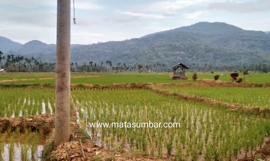 Petani di Pasbar Kelangkaan Pupuk, Respon Dari Pemerintah Belum Ada