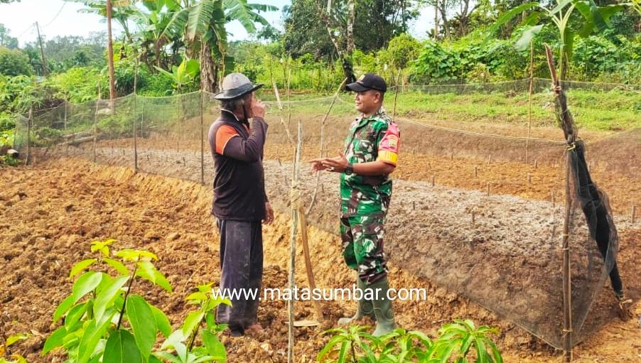 Tinjau Lokasi Pengembangan Serai Wangi, Babinsa 03/Sioban Lakukan Komsos Dengan Petani