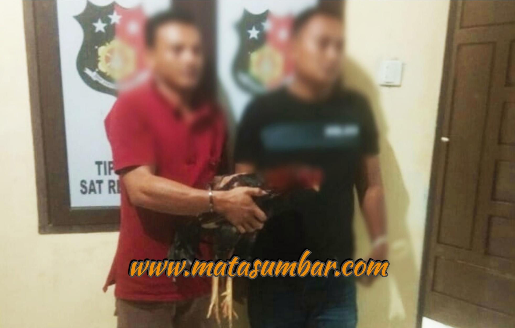 Sat Reskrim Polres Pasbar Tangkap Dua Pelaku Judi Sabung Ayam