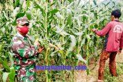 Ketahanan Pangan, Babinsa Sikakap Monitoring Lahan Warga Dusun Mabolak