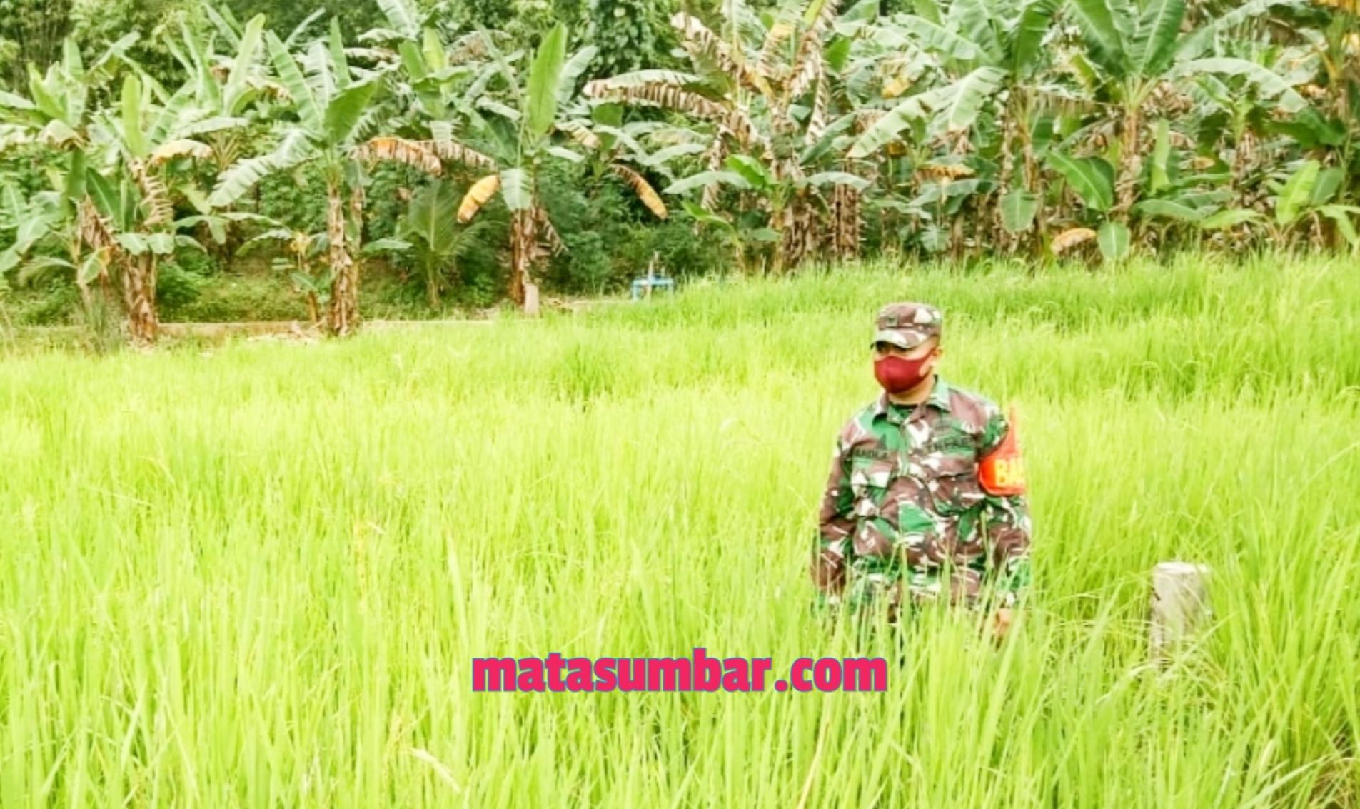 Babinsa Koramil 04/Sikakap Monitoring Lahan Sawah Pertanian Masyarakat Dusun Makukuet