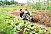 Babinsa Sikakap Monitoring Perkebunan Sayur Mayur Milik Warga