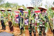 Forkopimda Panen Raya Jagung di Demplot Ketahanan Pangan Kodim 0319/Mentawai