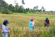 Babinsa Sikakap Bantu Masyarakat Panen Padi di Dusun Bungorayo