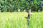 Tingkatkan Pertanian, Babinsa Sikakap Monitoring Sawah Warga Dusun Makukuet