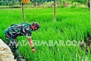 Motivasi Masyarakat, Babinsa Sikakap Monitoring Lahan Sawah Dusun Bubuget
