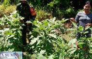 Babinramil Sikakap Bantu Warga Panen Terong di Dusun Mabolak