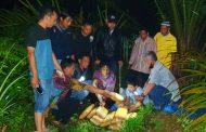 Polres Pasbar Ringkus 4 Tersangka Penyalahgunaan Narkotika, 16 Paket Besar Ganja di Amankan