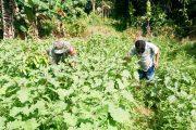Babinramil Sikakap Bantu Warga Panen Hasil Kebun Terong di Dusun Mabolak