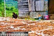 Harga Gambir Kembali Anjlok, Ekonomi Petani di Pessel Goyah