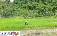 Tingkatkan Hanpang di Masa Pandemi, Koramil 04/Sikakap Monitoring Sawah Masyarakat
