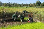 Satgas TMMD Bantu Warga Tanam Padi di Dusun Mapaddegat