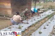 Budidaya Tanaman Cabe, Babinsa 03/Sipora Dampingi Petani Binaannya