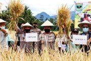 Ketahanan Pangan, Gubernur Sumbar Bersama Kapolda Panen Raya Padi di Kecamatan Sungayang