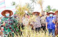 Dukung Ketahanan Pangan, Forkopimda Tanah Datar Panen Raya Padi di Nagari Cubadak