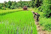 Babinsa Sikakap Pantau Perkembangan Lahan Sawah Masyarakat Dusun Aban Baga