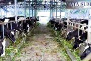 Pemko Padang Panjang Bakal Berikan Susu Segar Gratis Kepada 1881 Santri