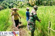 Selain Tinjau Persawahan, Babinramil Sikakap Edukasi Petani di Dusun Tunang