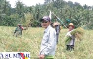 Babinsa 03/Sipora Bantu Poktan Arau Dusun Pogari Panen Padi